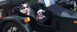 The doggy distractions, Forrest and Lucy. Their new favorite thing is to put on their doggles and harnesses to go for a ride in Dad's Ural sidecar.