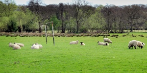 96-365 Year3 Sheep Play a Very Defensive Game (By John Garghan via Flickr CC)